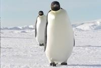 歩くエンペラーペンギン