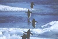 旅行に出かけるアデリーペンギン