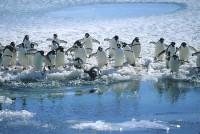 氷縁のアデリーペンギン