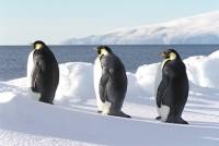 たたずむエンペラーペンギン