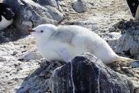 アデリーペンギン白化個体